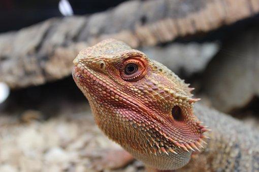 Lizard, Bearded, Dragon, Reptile, Wildlife, Animal