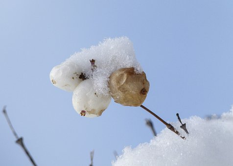 Snow Covered, Withered, Winter, Season