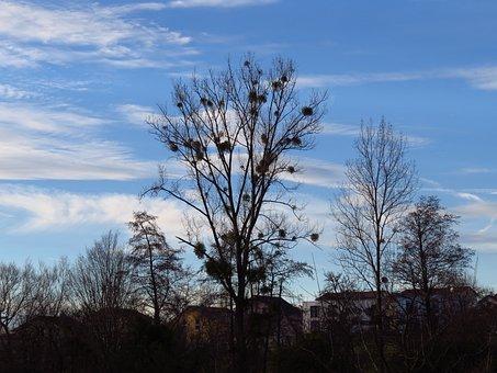 Tree, Poplar, White Poplar, Silhouette, Black