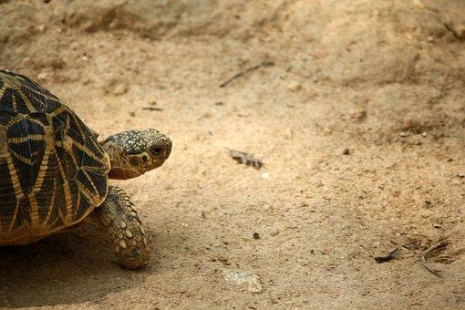 Tortoise, Slow, Animal, Wildlife, Reptile, Shell