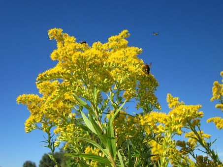 Solidago Canadensis, Goldenrod, Flower, Flora, Plant