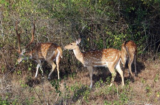 Spotted Deer, Chital, Axis Axis, Deer, Wildlife, Mammal