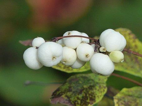 Common Snowberry, Berries, White, Symphoricarpas Albus
