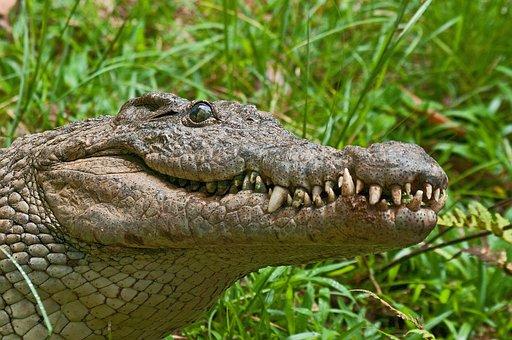 Crocodile, Alligator, Predator, Madagascar, Teeth