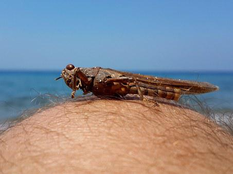 Turkey, Kusadasi, Thick Head, Grasshopper, Beach