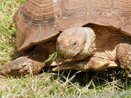Tortoise, Reptile, Animal, Wildlife, Nature, Slow