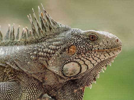 Iguana, Lizard, Reptile, Animal, Nature, Wildlife