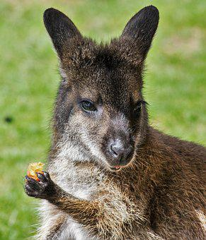 Wallaby, Zoo, Kangaroo, Marsupial, Cute