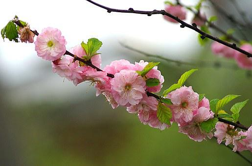 Almond, Almond Flowers, Almond Twigs, Flourishing