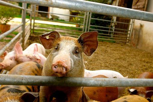 Piglet, Pig, Animals, Curly Tail, Pig Snout