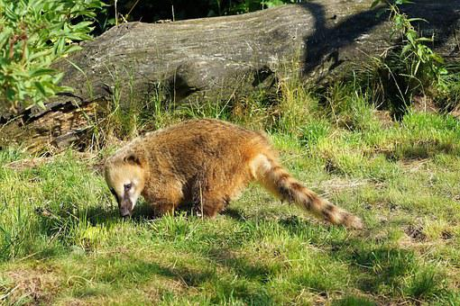 Coati, Furry, Curly Tail, Curious, Sweet, Awakened, Fur