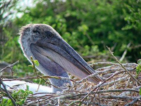 Pelican, Chile Pelican, Ave, Beak Bag, Bird, Chile