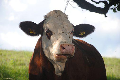 Cow, Nature, Beef, Alm, Cows, Pasture, Animals
