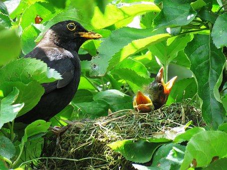 Blackbird, Nest, Bird's Nest, Bird Young, Bill