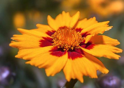 Coreopsis, Blossom, Bloom, Yellow, Red
