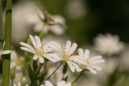 White, Flower, White Flower, Flowers, Bloom