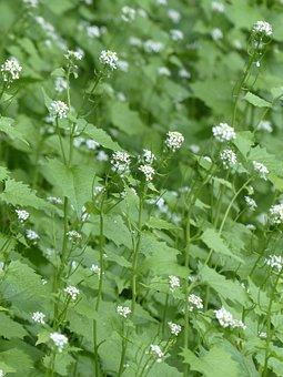 Garlic Mustard, Blossom, Bloom, White, Garlic Herb