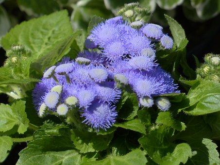 Ageratum Houstonianum, Blueme, Blossom, Bloom, Blue