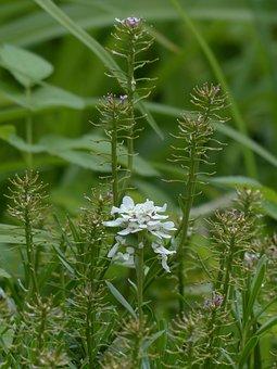 Field Hellerkraut, Blossom, Bloom, White, Caerulescens