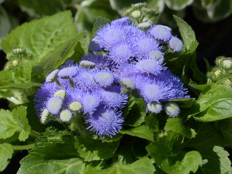 Ageratum Houstonianum, Blueme, Blossom, Bloom, Blue