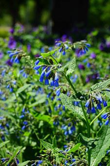 Flowers, Blue, Bush, Rough Comfrey, Flower