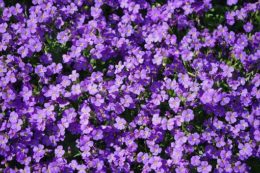 Blue Pillow, Flowers, Violet, Aubrieta, Aubrietien