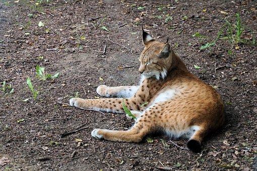 Lynx, Cat, Animal, Nature, Sababurg Castle, Zoo