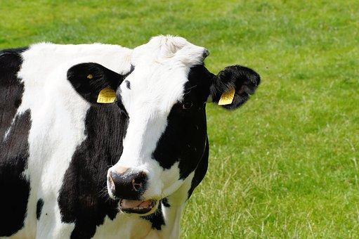 Cow, Milk Cow, Holstein Cattle, Cattle Breed