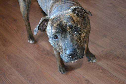 Dog, Cute, Staffy, Staffordshire