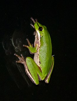 Eastern Sedge Frog, Eastern Dwarf Tree Frog