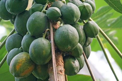 Papaya, Fruits, Exotic, Melon Tree, Eat