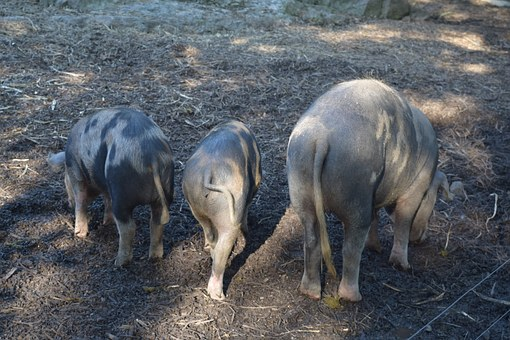 Pigs, Animals, Sow, Farm, Curly Tail, Piglet
