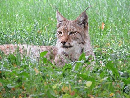 Lynx, Nature, Animal, Carnivore, Predator, Feline