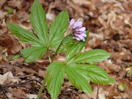 Fingerzahnwurz, Forest Flower, Zahnwurz