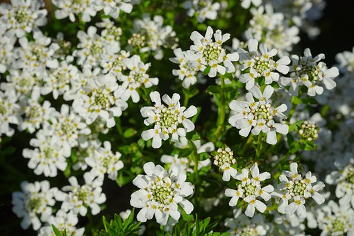 Evergreen Candytuft, Flowers, White