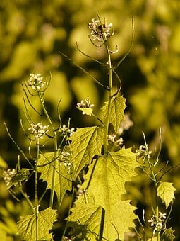 Garlic Mustard, Garlic Herb, Knoblauchhederich