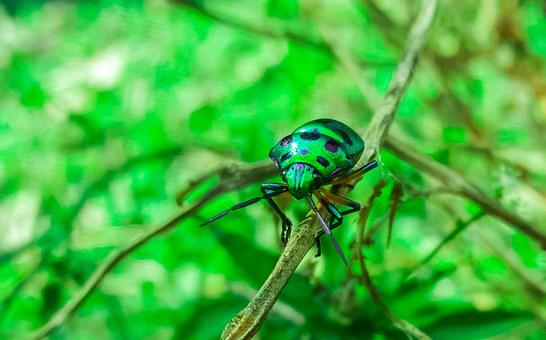 Beetle, Green, Insect, Bug, Nature, Olive, Grow