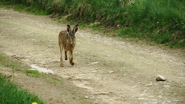 Hare, Wild, Run