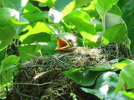 Blackbird, Young, Bird's Nest, Nest, Hunger