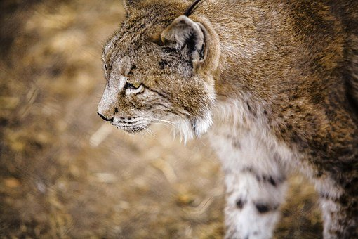Iberian Lynx, Profile, Lavirian