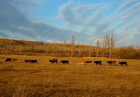Cows, Animals, Landscape, Hill, Sky, Nature, View