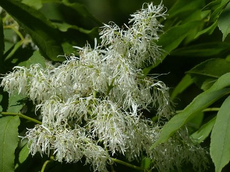 Tree, Blossom, Bloom, White, Manna Ash, Fraxinus Ornus