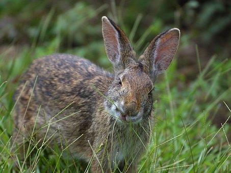 Hare, Ears, Mammal, Meadow, Grass, Head, Nature, Wild