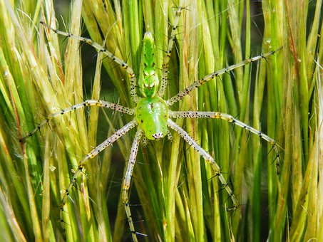 Green Lynx Spider, Peucetia Viridans, Spider, Arachnid