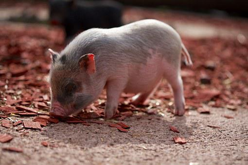 Pig, Piglet, Farm, Curly Tail, Pink, Animals, Pet
