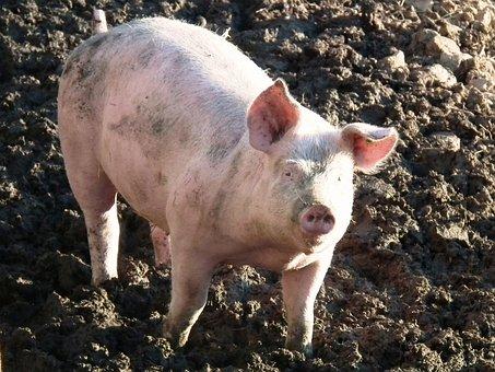 Pig, Piglet, Curly Tail, Pink, Mud
