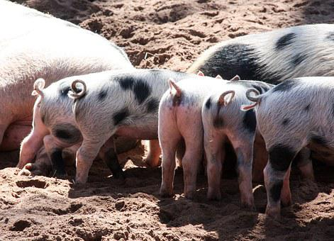 Animal, Pigs, Piglet, Pet, Curly Tail