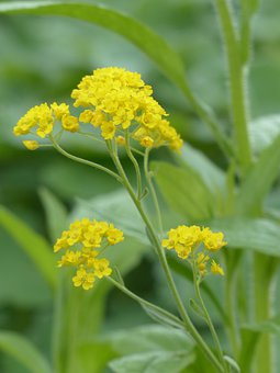 Stone Herb, Flowers, Yellow, Plant, Flower, Golden