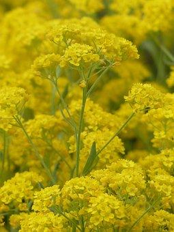 Stone Herb, Flowers, Yellow, Plant, Flower