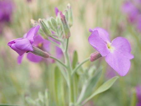 Gold Lacquer, Flower, Blossom, Bloom, Purple, Violet